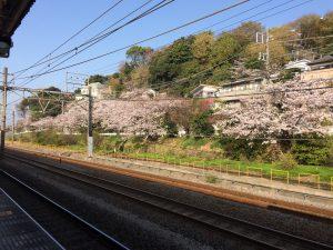 大磯駅 桜