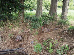 大きな栗の木パブリックのニワトリ
